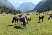 beautiful_horses_grazing_in_a_meadow_Tours_to_Kyrgyzstan.JPG